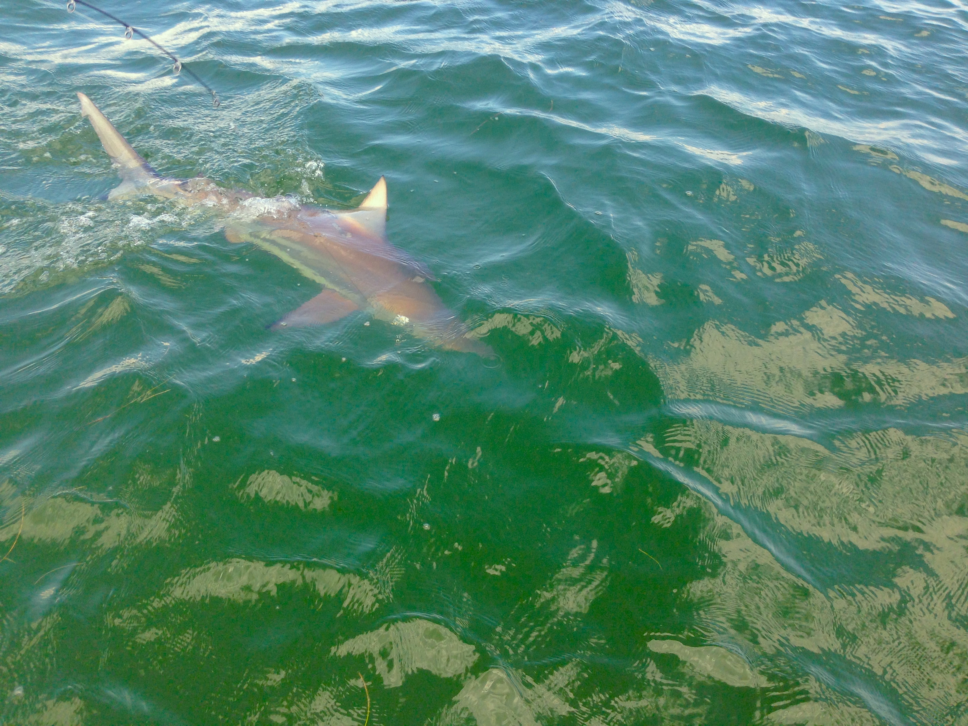 tampa bay shark fishing best charter in Tampa Bay